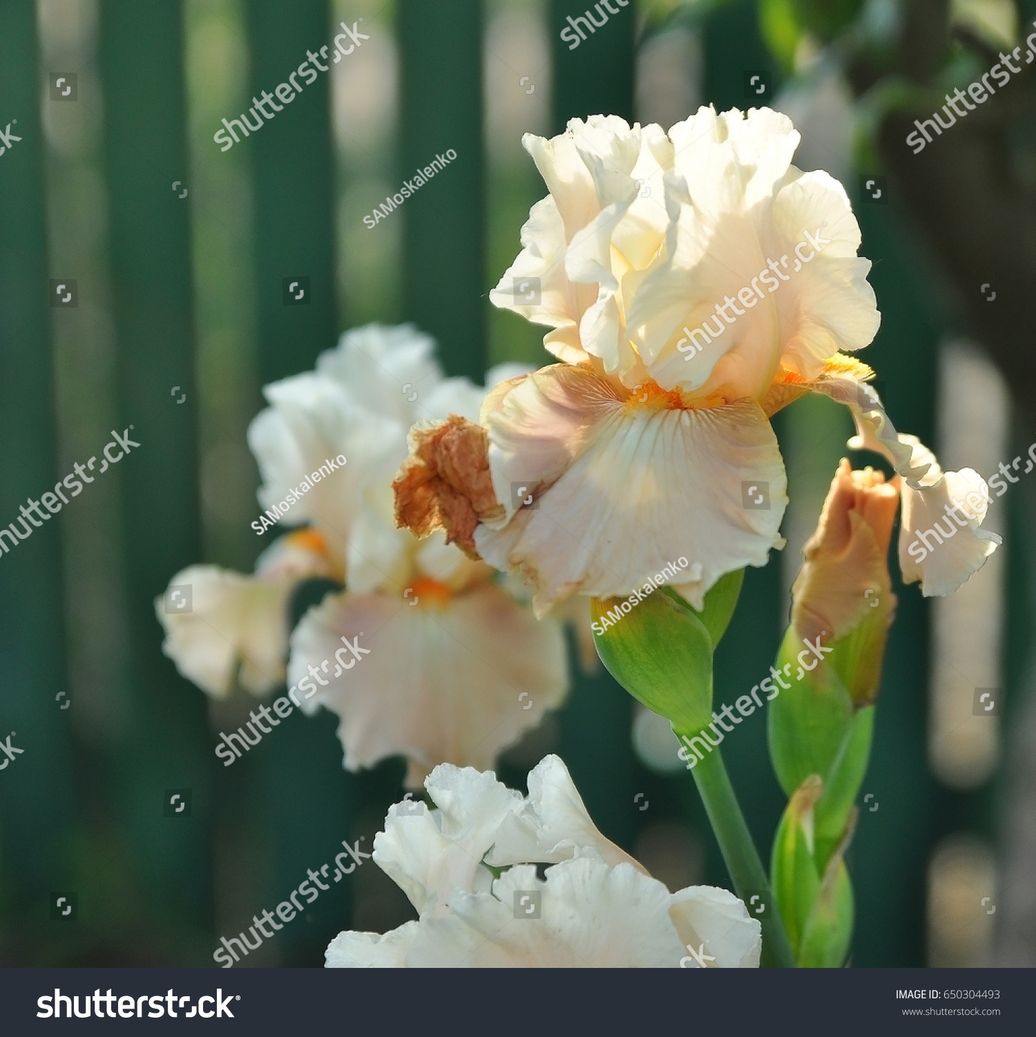 White iris flowers macro on natural stock photo edit now 650304493 white iris flowers macro on natural green background gentle creamy flower de luce close up izmirmasajfo