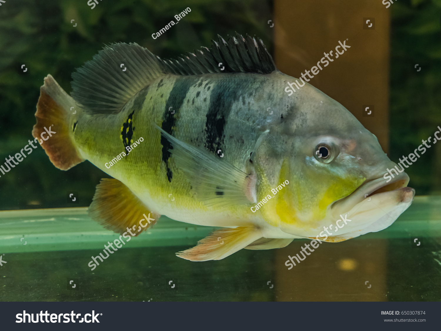 Freshwater fish rare species. From the Amazon River Colorful fish ...