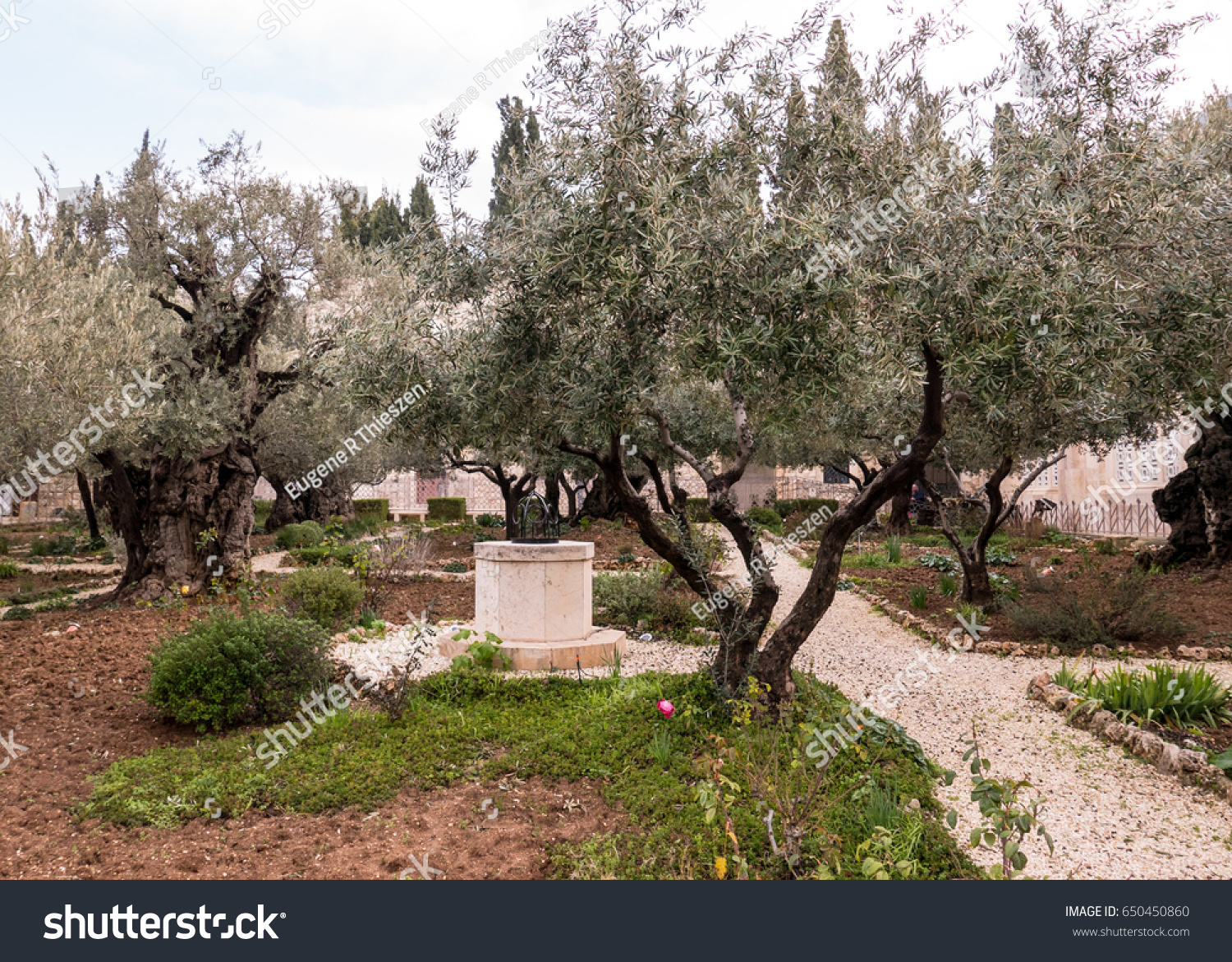 Grove Old Olive Trees Foot Mount Stock Photo (Edit Now) 650450860 ...