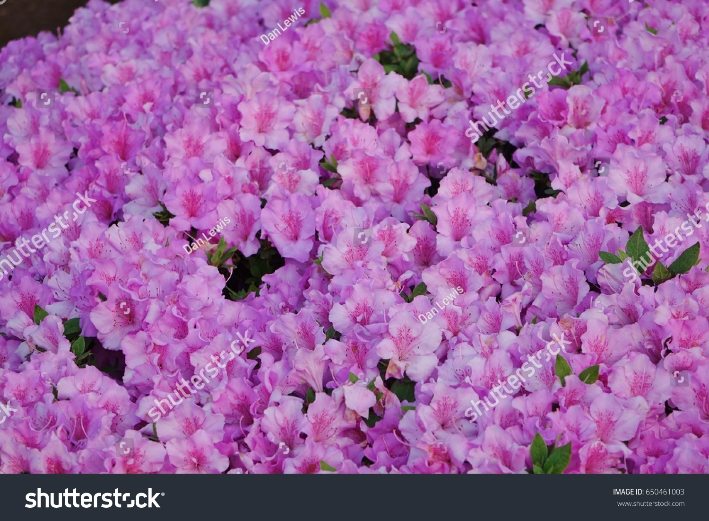 Large Group Light Purple Flowers On Stock Photo Edit Now 650461003