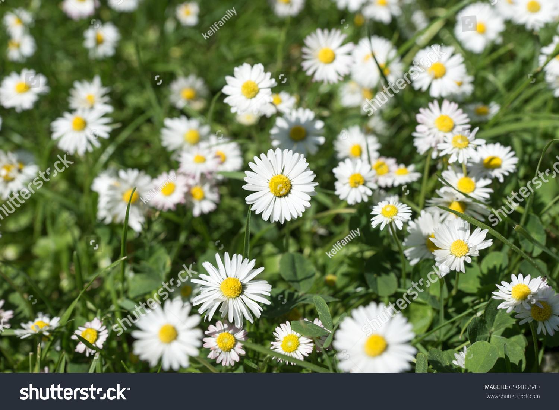 Field Daisy Flowers Bellis Perennis Garden Stock Photo Edit Now