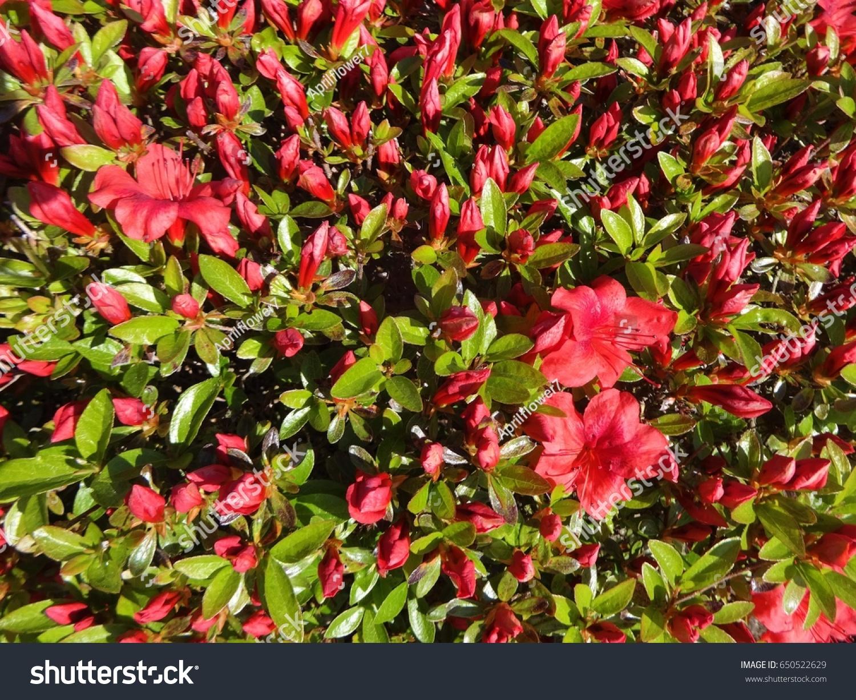 Salmon Orange Colored Azalea Flowers Starting Stock Photo (100 ...