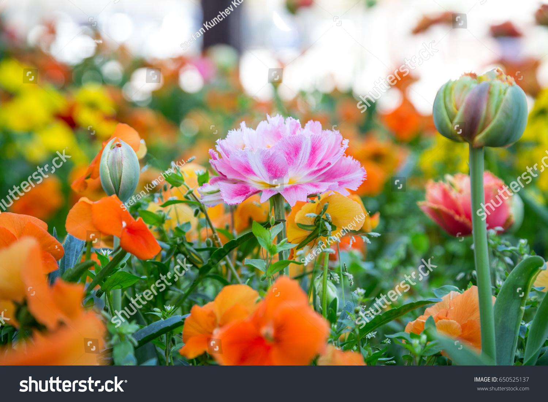 Garden Spring Flowers Beautiful Pink Tulip Stock Photo (Royalty Free ...