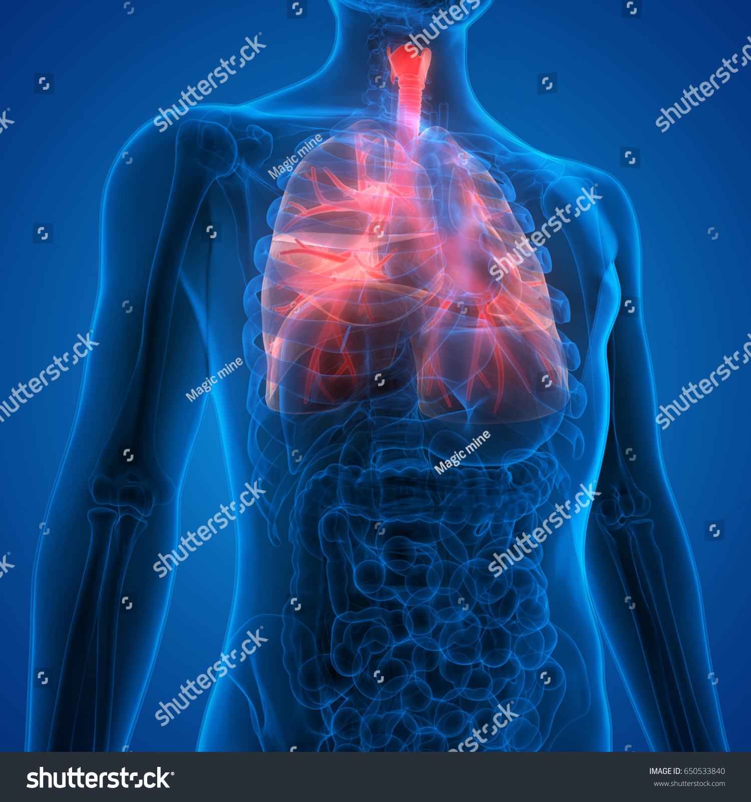 Human Lungs Inside Anatomy Larynx Trachea Stockillustration
