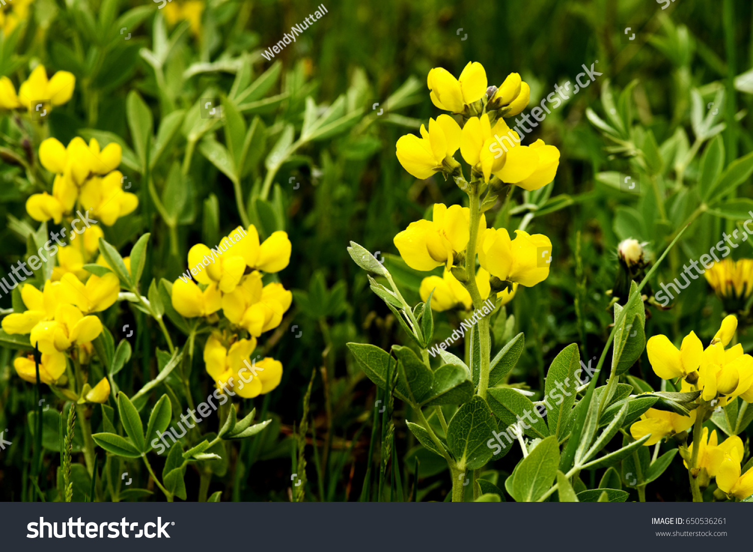 Yellow Buffalo Bean Flowers Green Leaves Stock Photo Edit Now