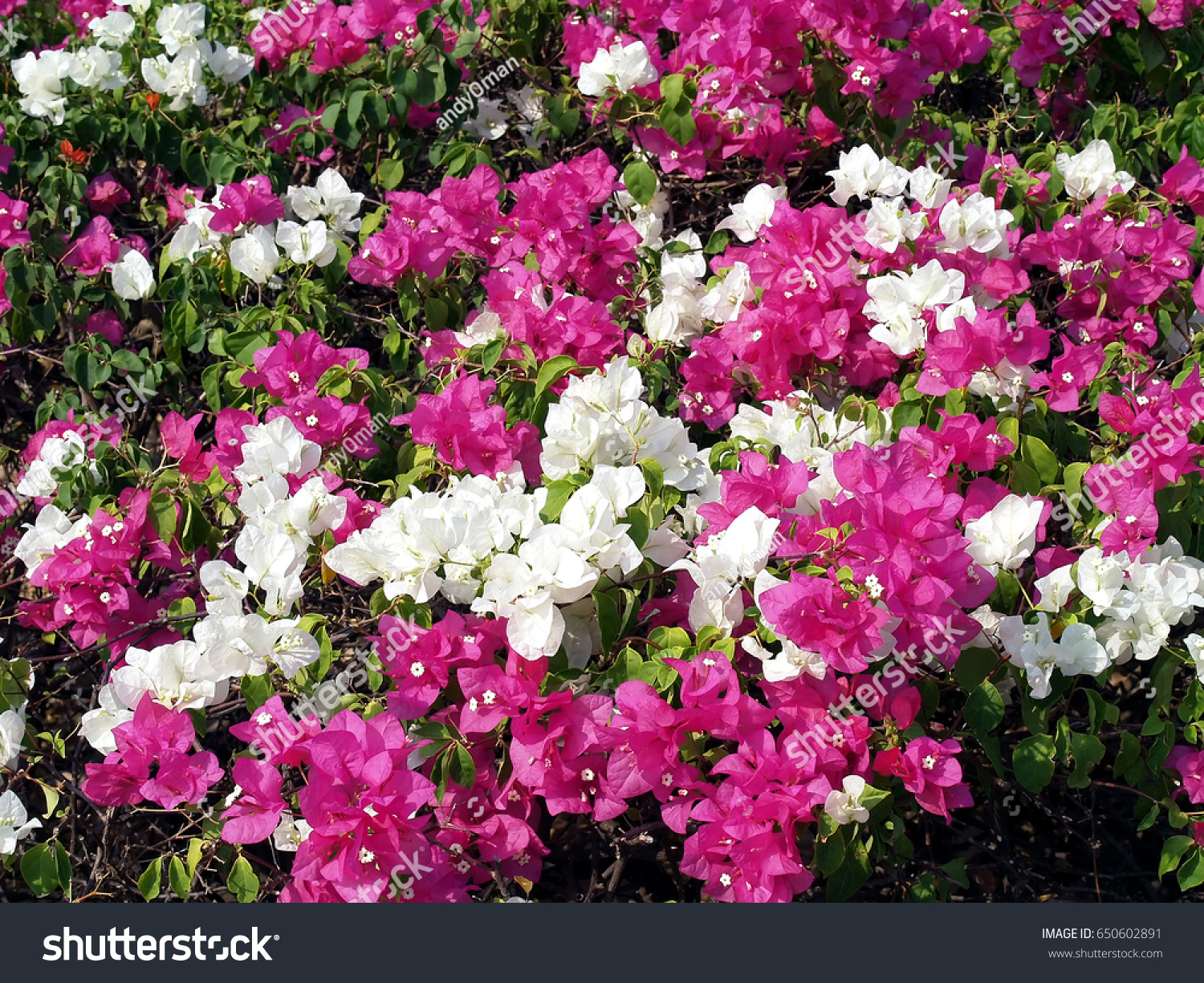 Closeup Blooming Purple Pink White Flowers Stock Photo Edit Now