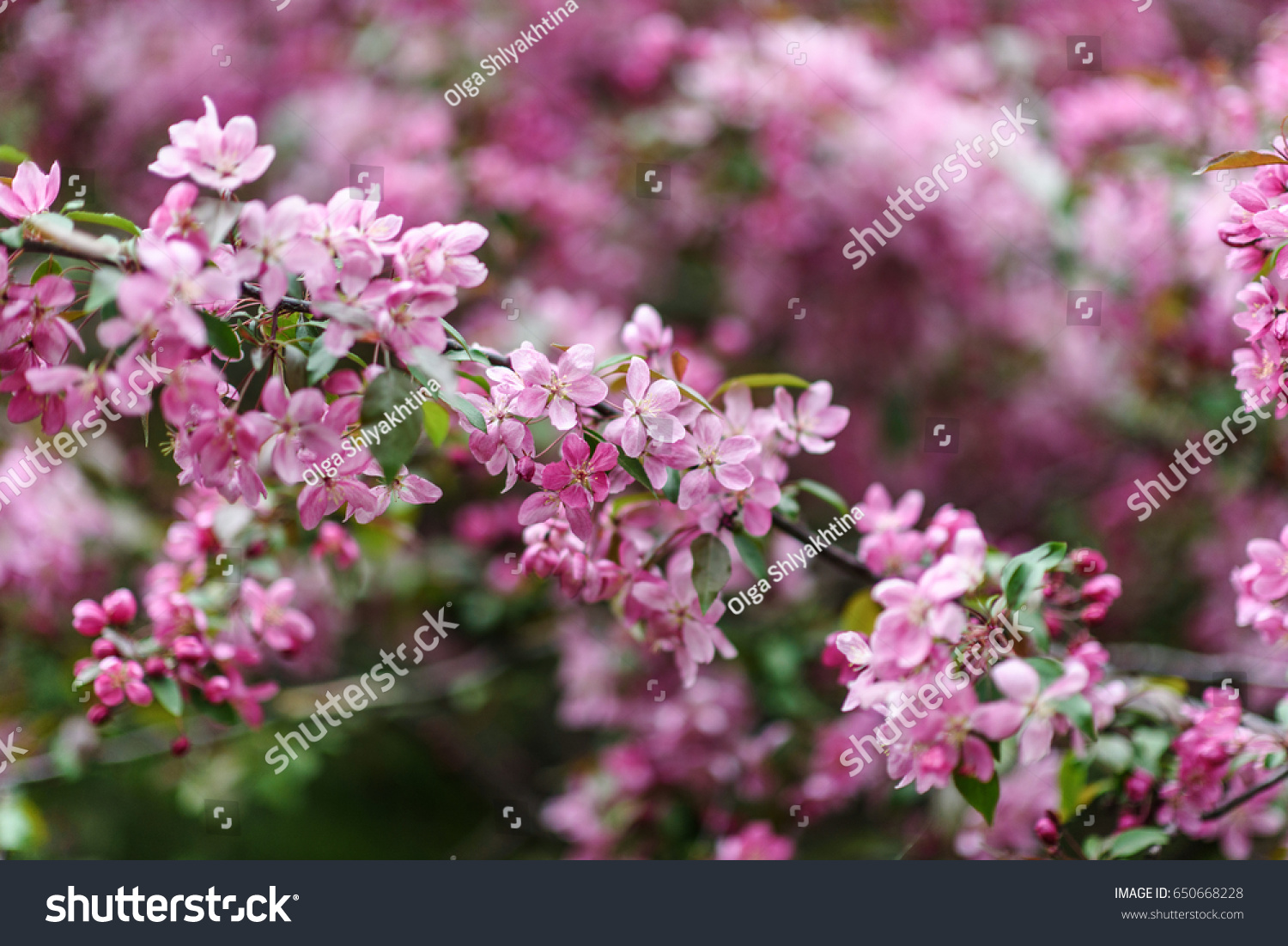 Blooming Tree Spring Fresh Pink Flowers Stock Photo Edit Now