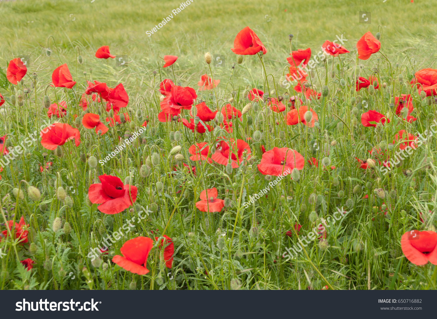 Poppy Flowers Buds And Pods In The Field Ez Canvas