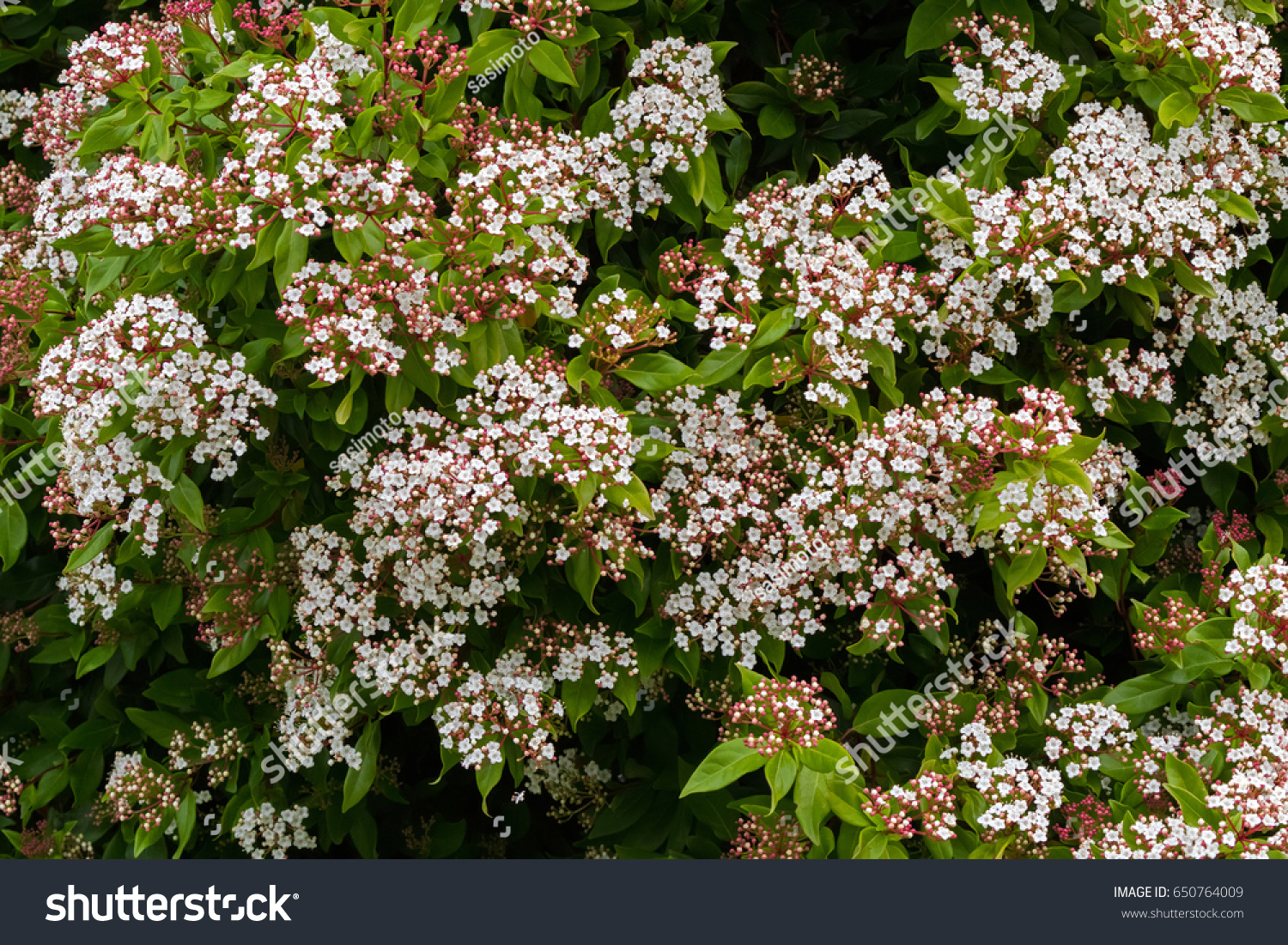 Small White Flowers Pink Buds Viburnum Stock Photo 100 Legal
