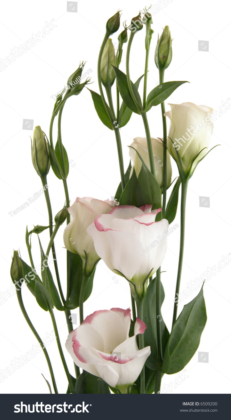 White Lisianthus Flowers Pink Variegation Top Stock Photo Edit Now