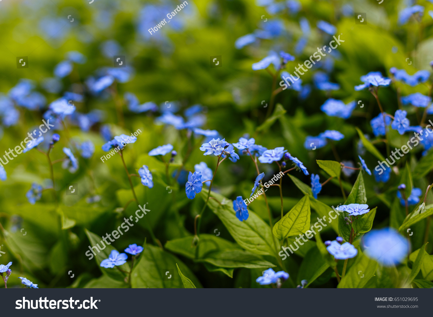 Navelwort Omphalodes Linifolia Blue Flowers Spring Stock Photo Edit