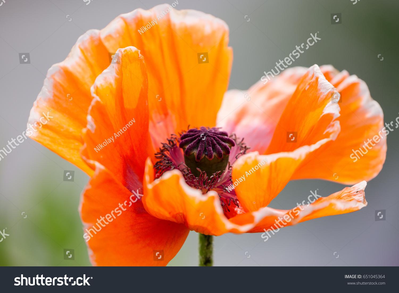 Orange Poppy Flower Papaver Somniferum Close Stock Photo 100 Legal