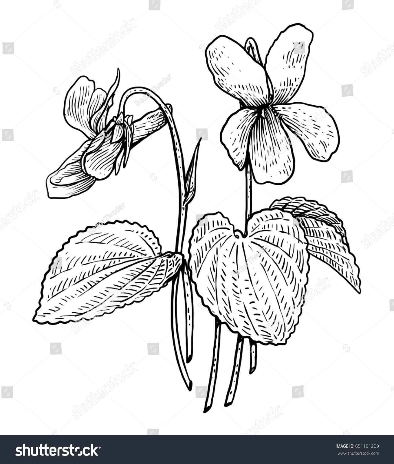 Line Drawing Violet : Violet illustration drawing engraving ink line stock