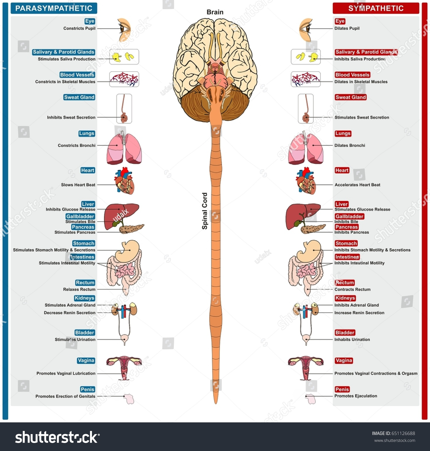 Autonomic Nervous System Subdivided Into Sympathetic Stock Vector ...
