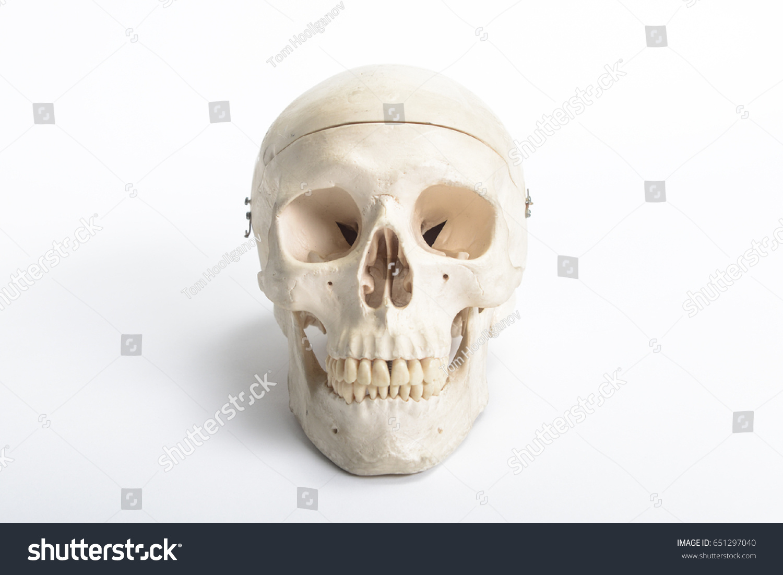 anatomy human skull on white background | EZ Canvas