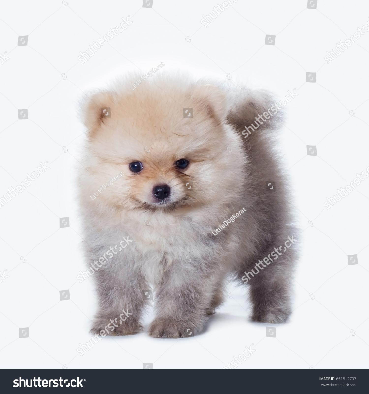 Beautiful Cute Pomeranian Puppy Isolated Stock