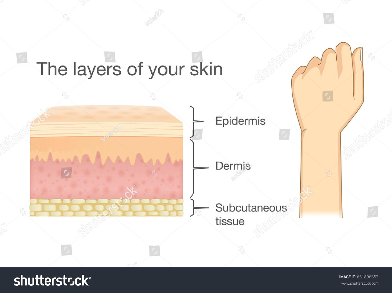 Anatomy Human Skin Layer Arm Isolated Stock Vector 651896353 ...