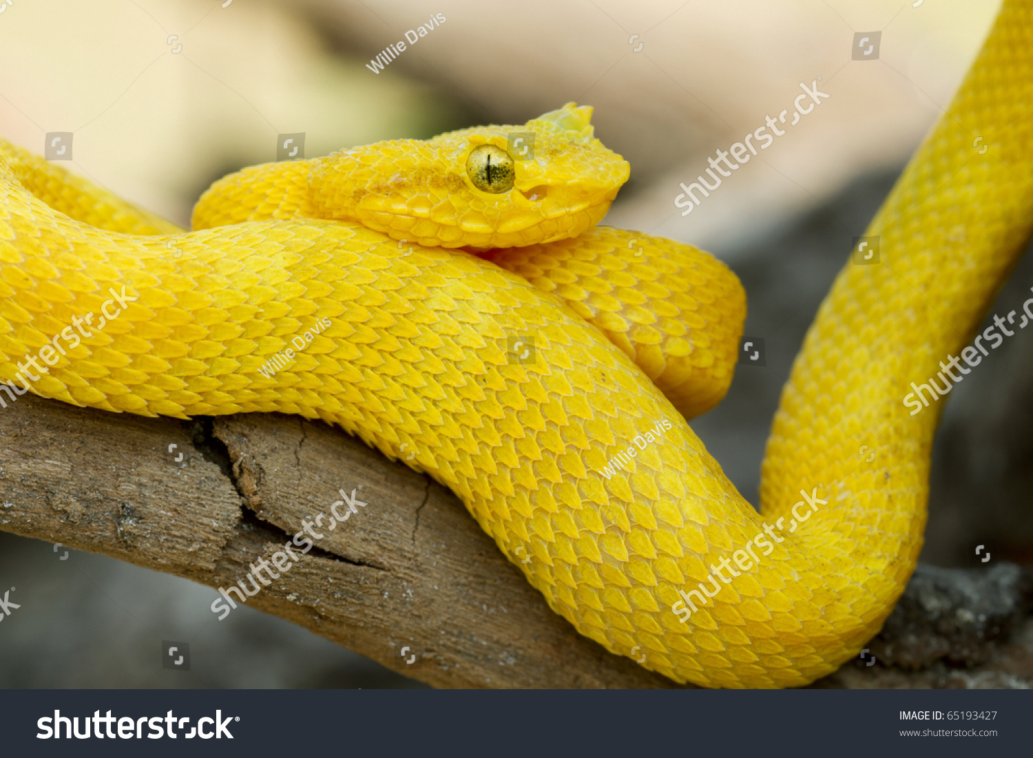 Yellow Eyelash Viper B Schlegelii Stock Photo Edit Now 65193427