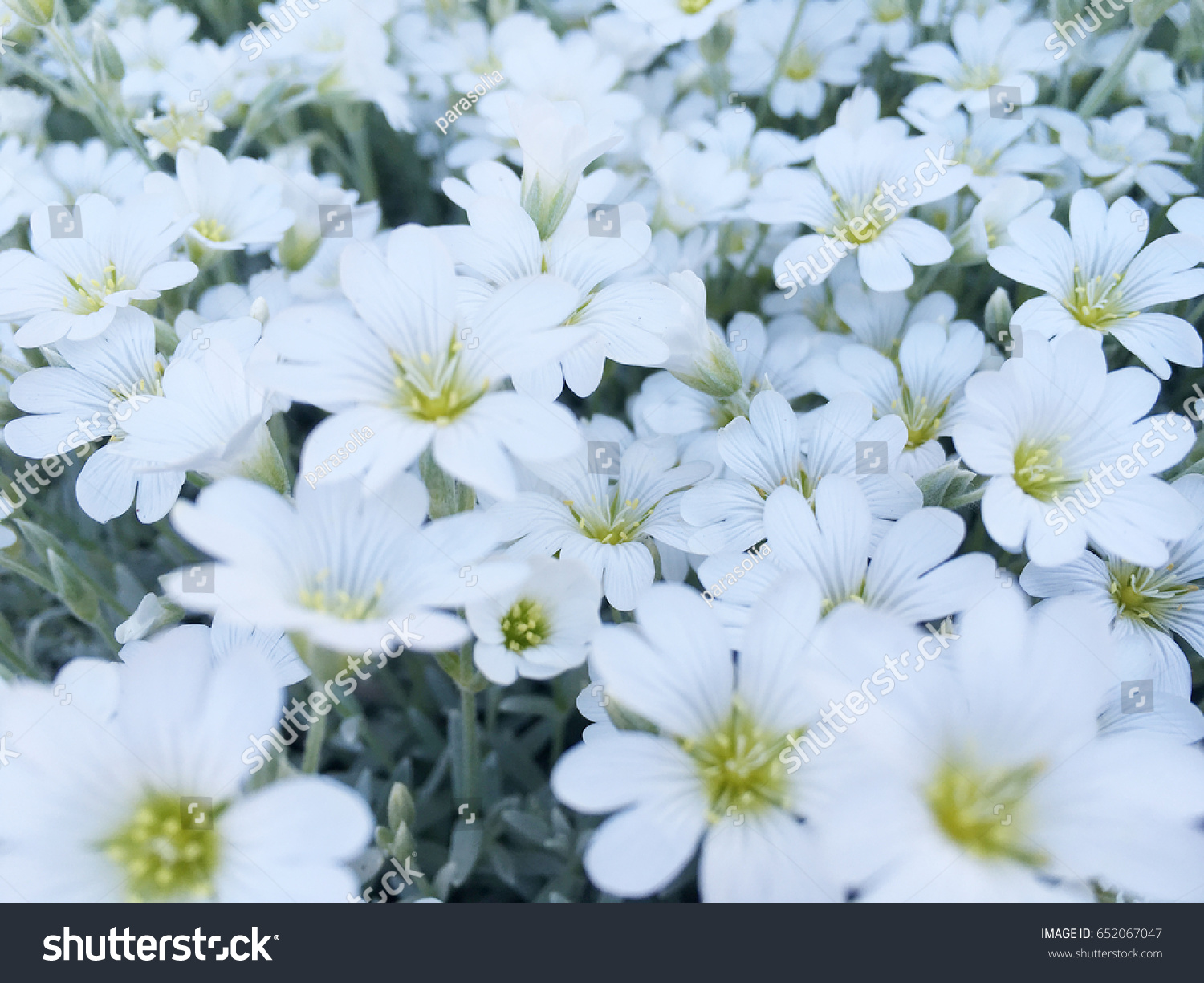 Spring White Flowers Small White Flowers White Flower Background