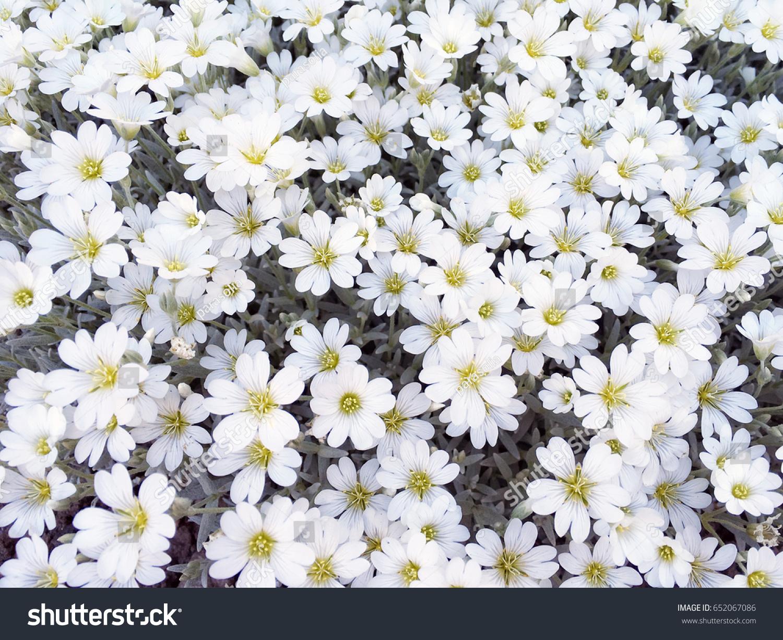 White Flower Background Flowers Texture Spring White Flowers