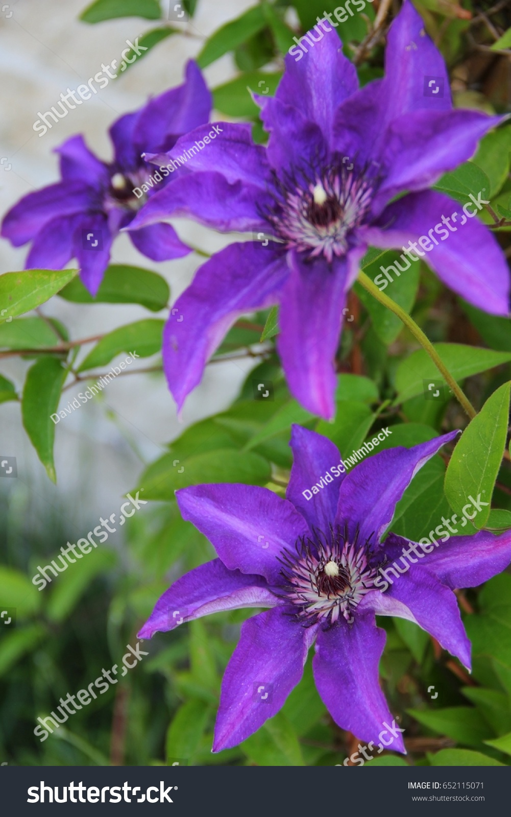 Three Big Purple Flowers Named Clematis Stock Photo Edit Now