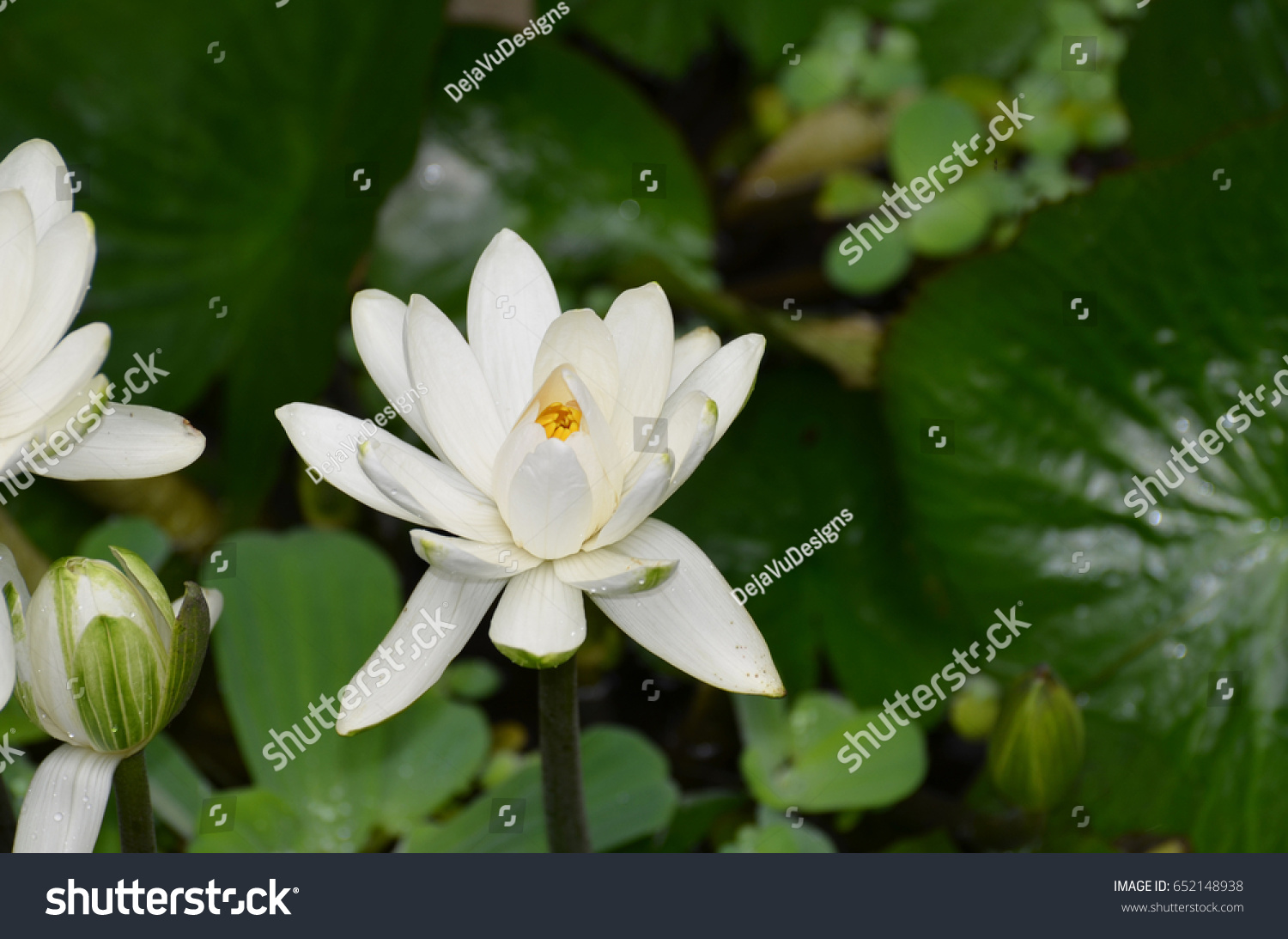 Water Garden With A White Indian Lotus Flower Ez Canvas