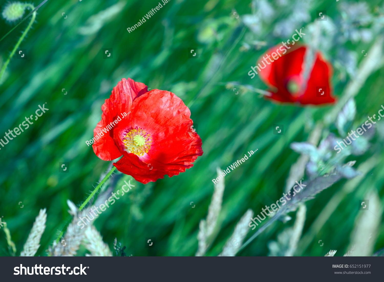 Flowering Poppy Netherlands Stock Photo Royalty Free 652151977