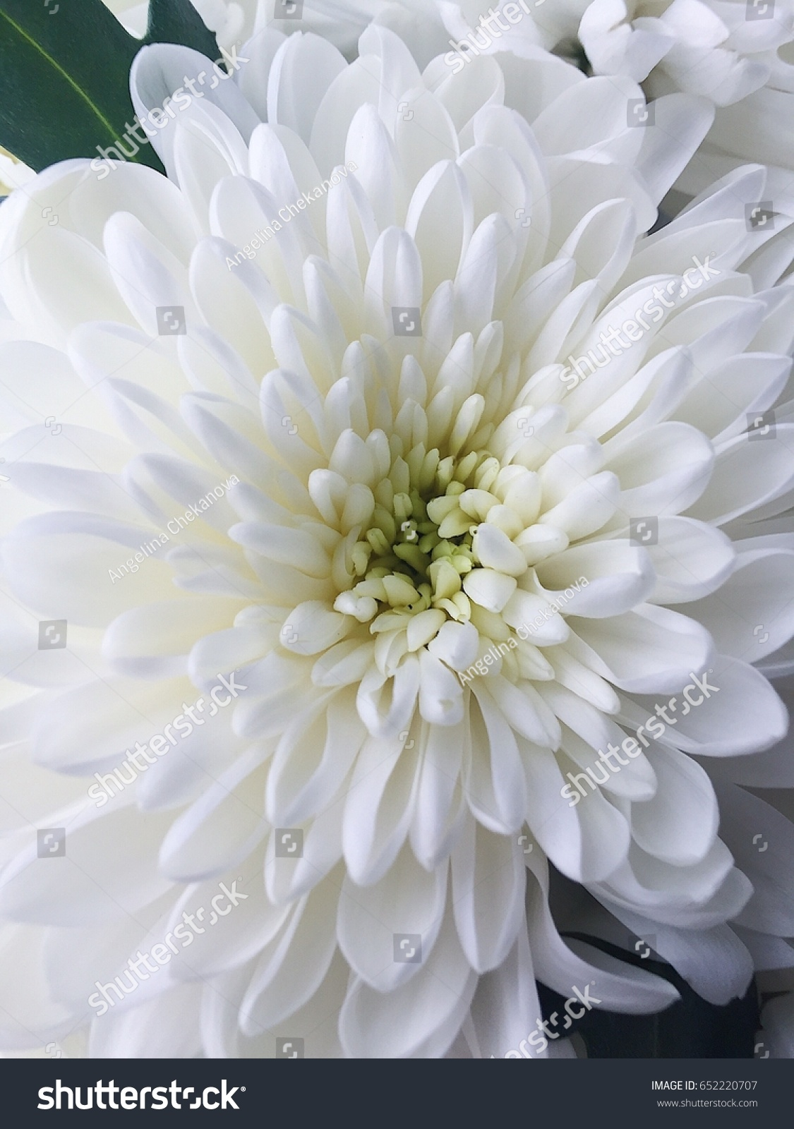 Beautiful White Flowers Asters Stock Photo Edit Now 652220707