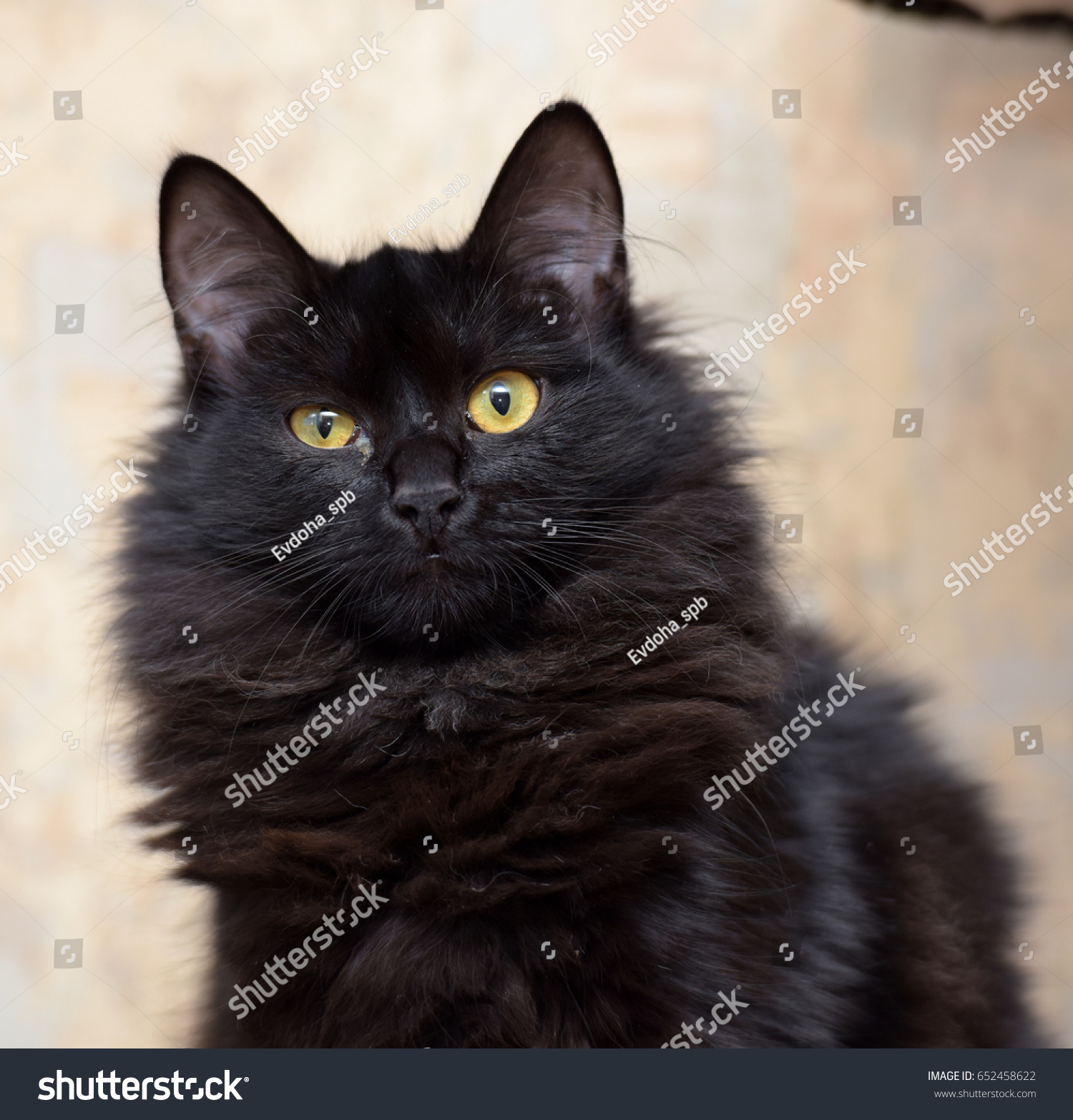 Black Cat Lying Down Facing The Camera On A Dark Background Long