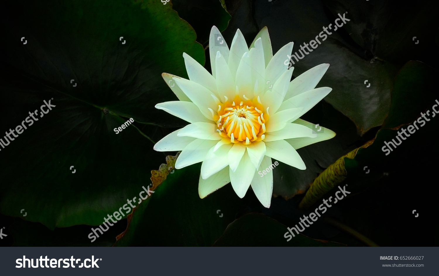 White Lotus Blossom Flower Pond Green Stock Photo Edit Now