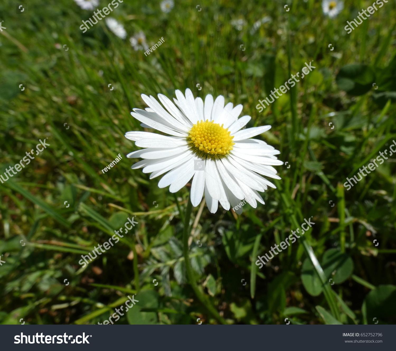 Bellis Perennis Daisy Flower White Flower Stock Photo Royalty Free