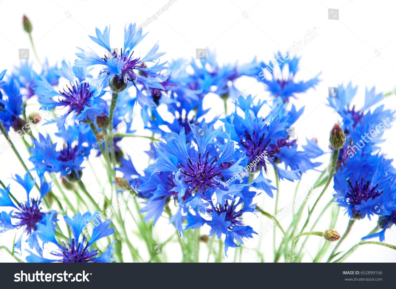Beautiful Blue Flowers Cornflower On White Stock Photo Edit Now