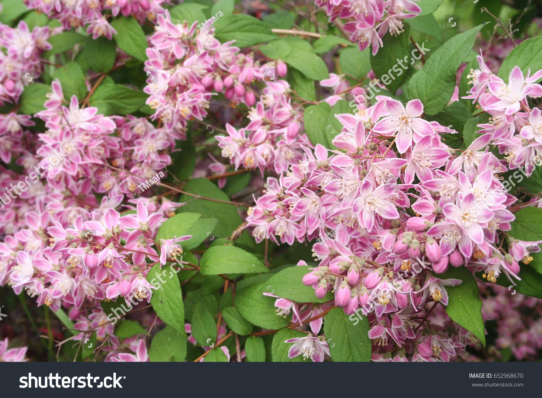Deutzia Tourbillon Rouge Shrub With Pink Flowers Ez Canvas
