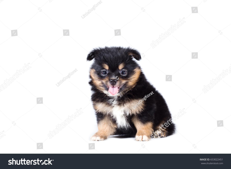 Beautiful Pomeranian Mix Chihuahua Puppy Isolated On White