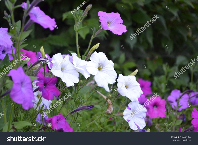 Petunia Stimoryne Petunia Nyctaginiflora Delicate Flower Stock Photo ...