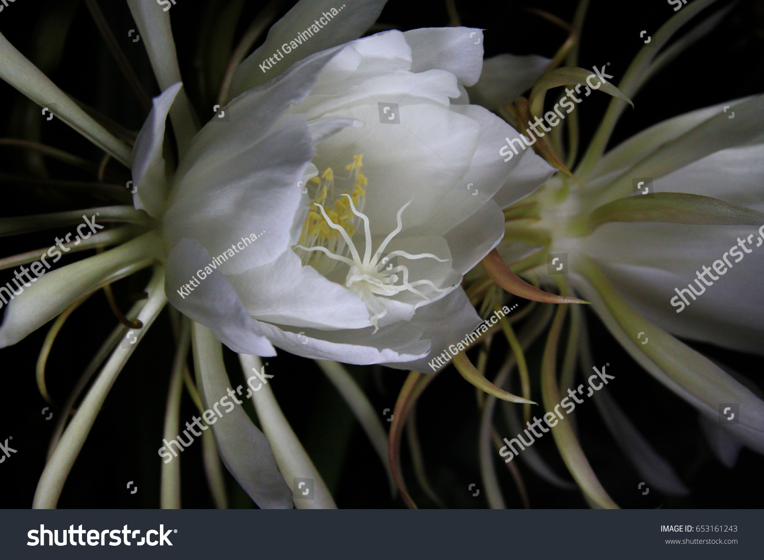 White Cactus Flower Blooming Only Night Stock Photo Royalty Free