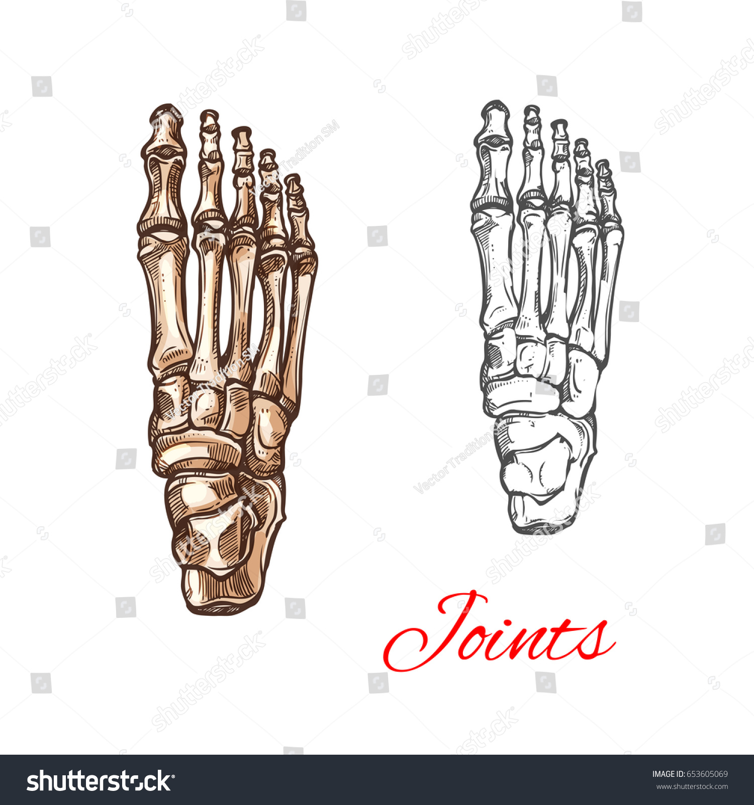 Human Foot Bones Joints Skeleton Vector Stock Vector (Royalty Free ...