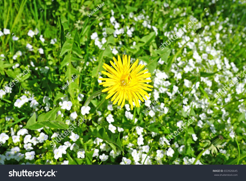 Taraxacum Asteraceae Yellow Flower Weed On Stock Photo Edit Now
