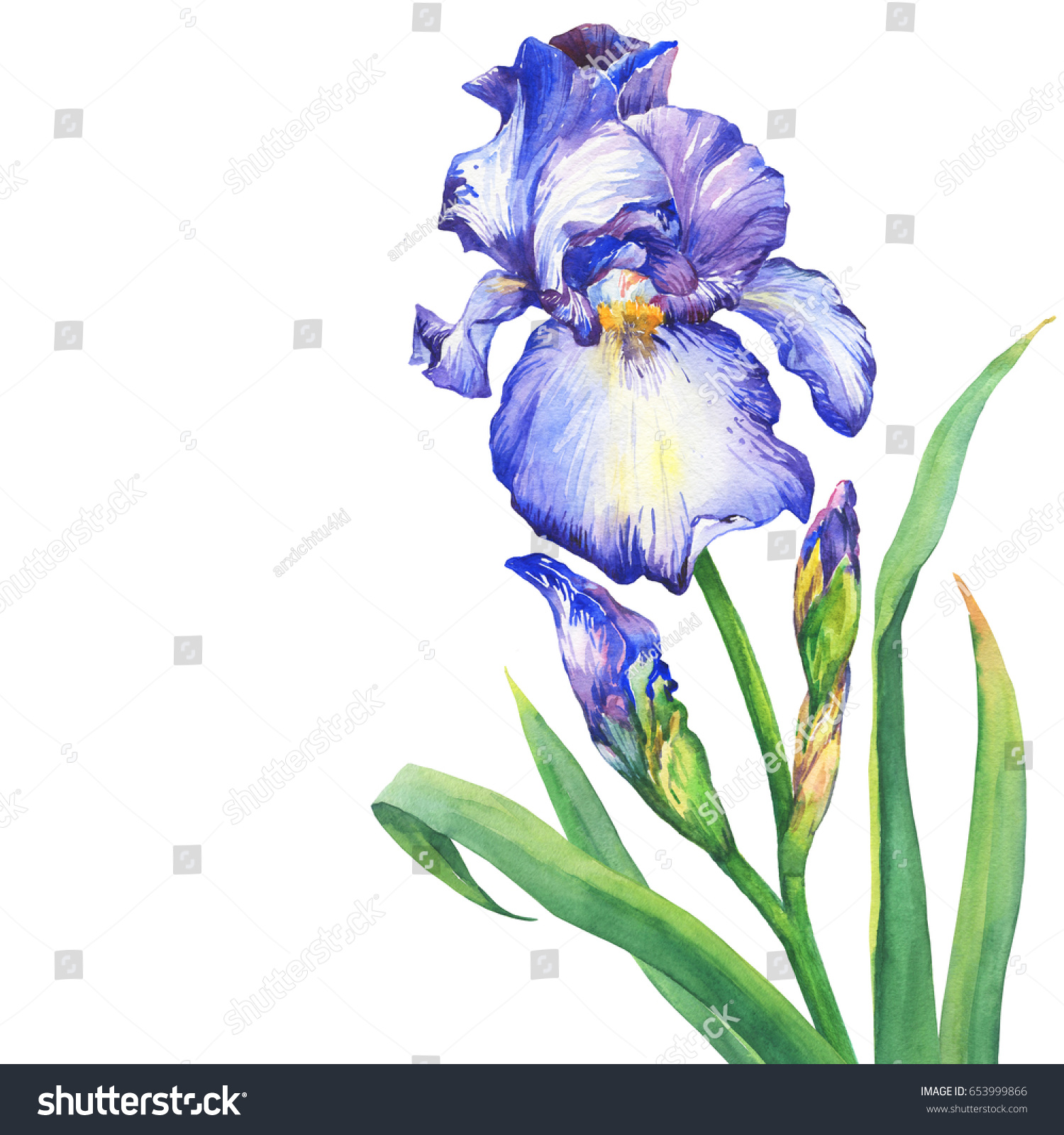 Branch flowering blue iris bud watercolor stock illustration the branch flowering blue iris with bud watercolor hand drawn painting illustration isolated on izmirmasajfo