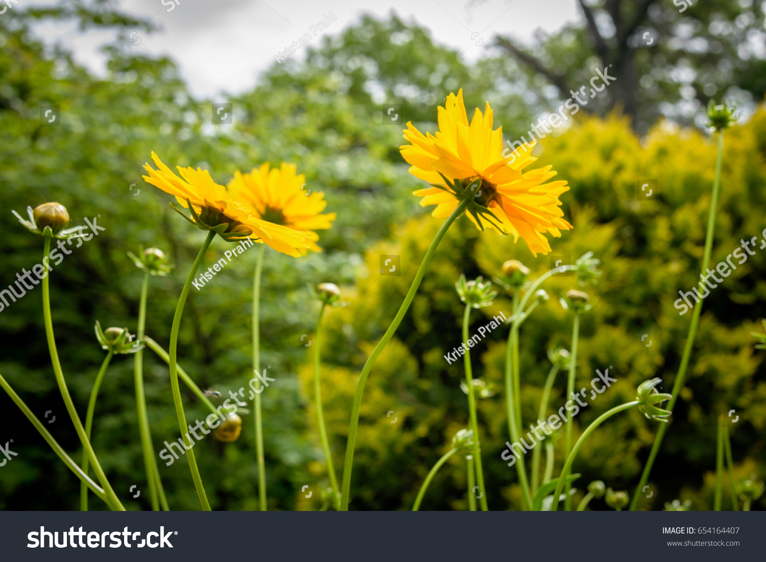 A Wild Yellow Flower Golden Ragwort With Green Leaves On A Cloudy