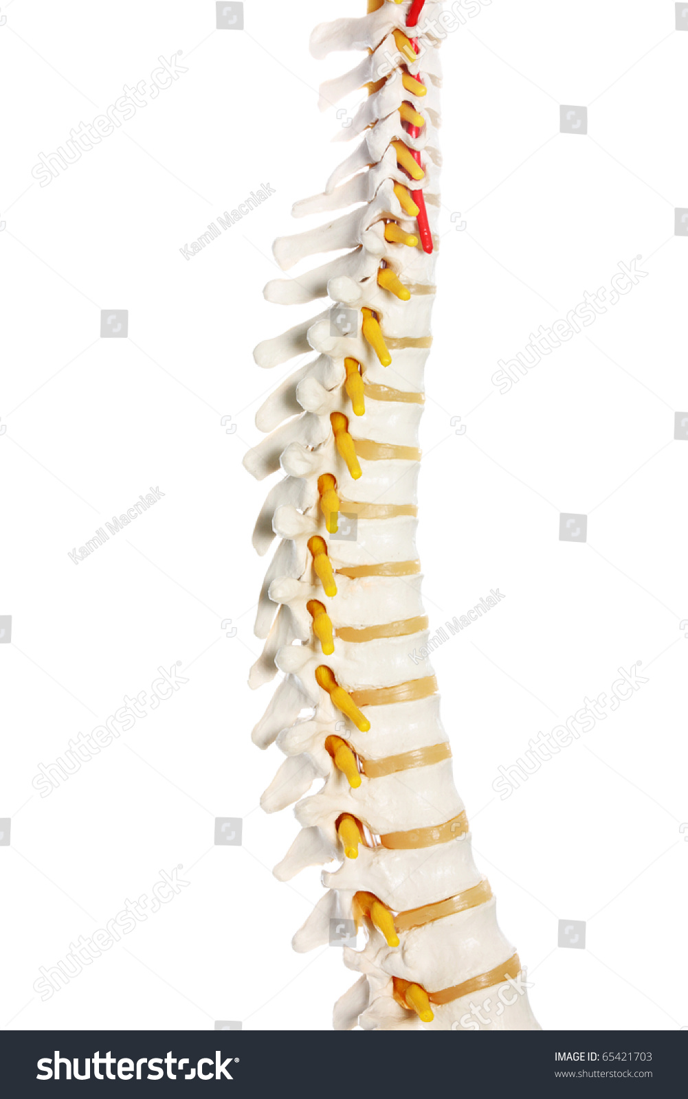 Picture Human Spine Preparation Over White Stock Photo Edit Now