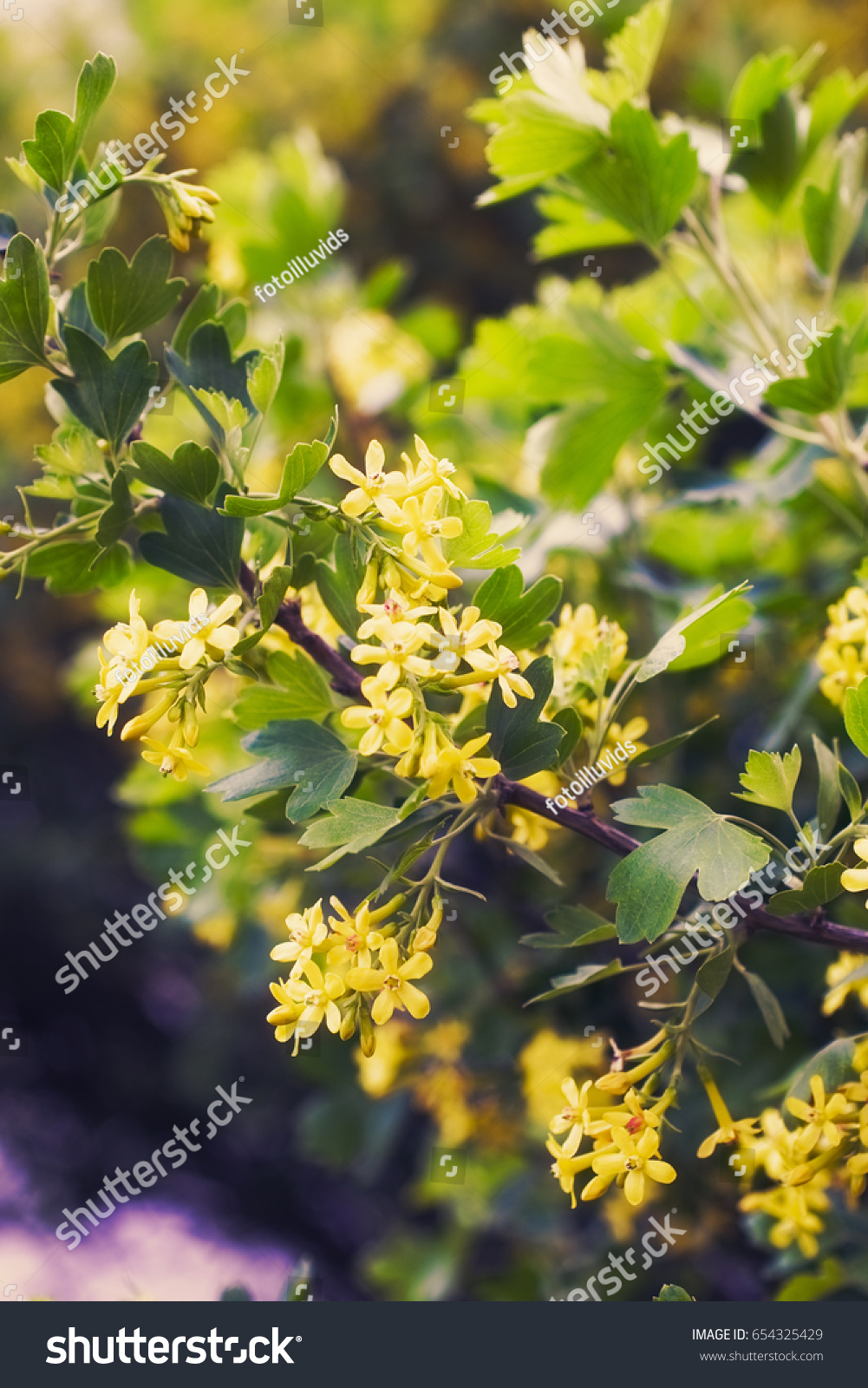 Yellow Flowers Golden Buffalo Currant Ribes Stock Photo Safe To Use