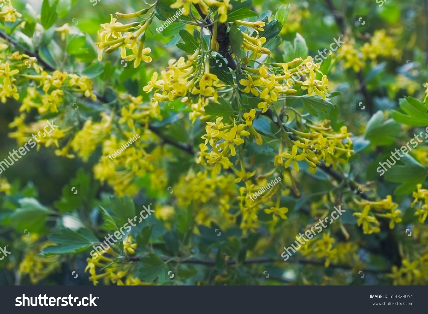 Yellow Flowers Golden Buffalo Currant Ribes Stock Photo Royalty