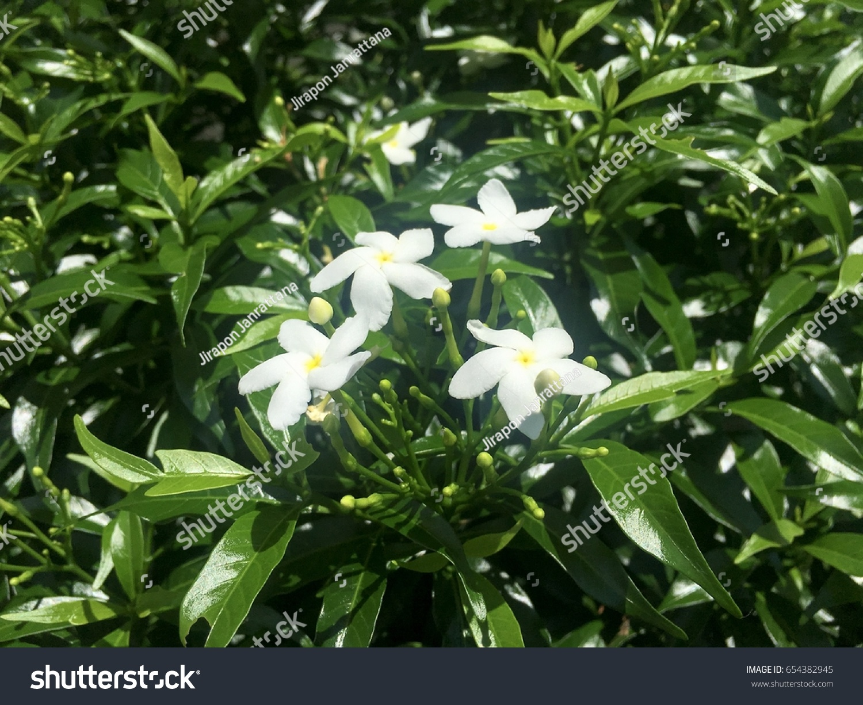White Sampaguita Jasmine Or Arabian Jasmine Flowers Blossom