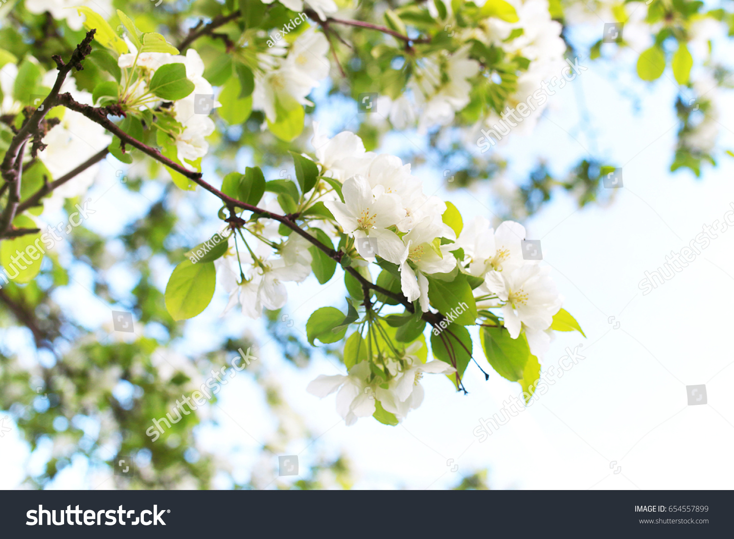 Early Spring Flowering Apple Tree Bright Stock Photo Edit Now