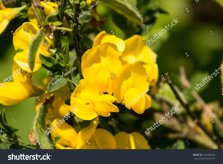 Yellow broom flower ez canvas mightylinksfo