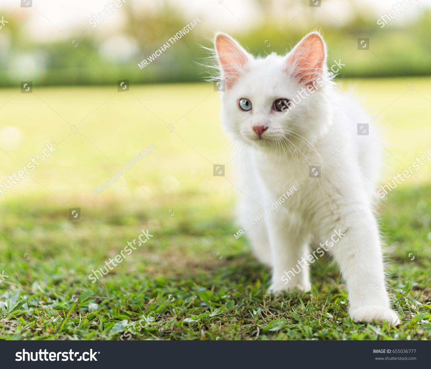 Cute Little White Cat On Green Stock Photo Edit Now 655036777