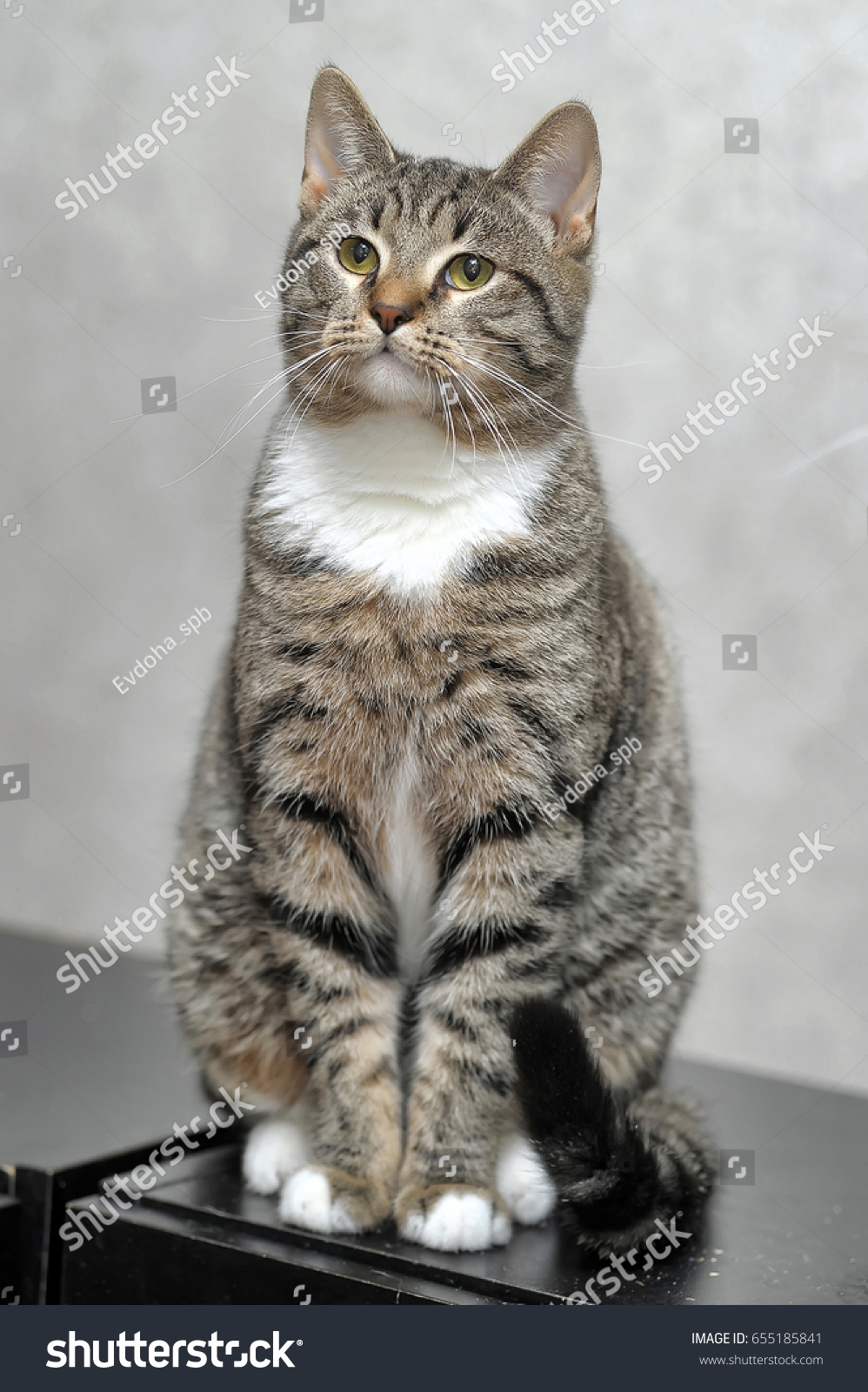 Tabby with white cat | EZ Canvas