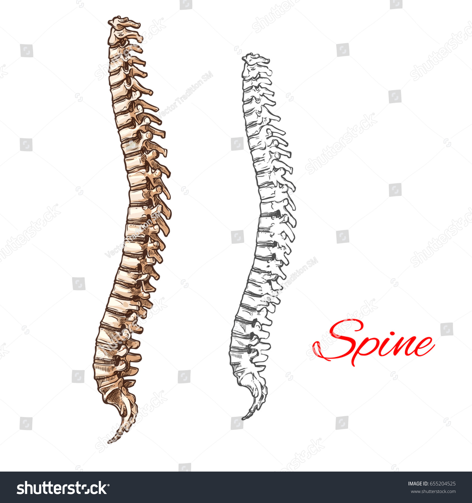 Human Spine Bones Backbone Joints Vector Stock Vector Royalty Free