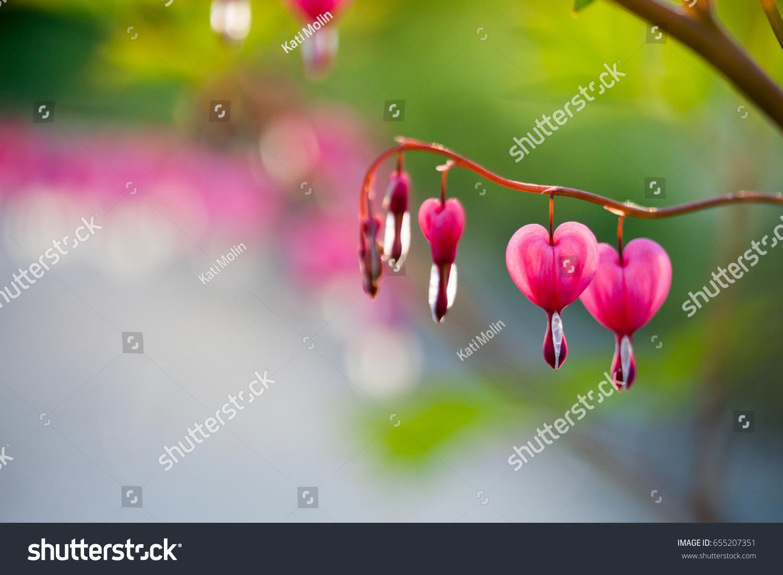 Pink bleeding heart flower hanging stock photo 655207351 shutterstock pink bleeding heart flower hanging mightylinksfo